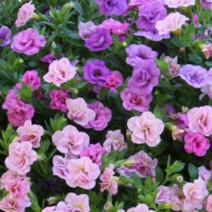 Trixi calibrachoa bagosi kert szet - Calibrachoa trixi ...
