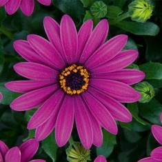 Compact FlowerPower Purple